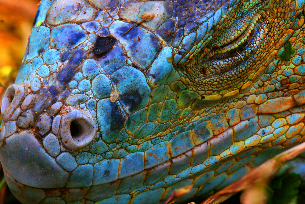 Iguana displaying a beautiful blue colorization of the scales in the amazon.