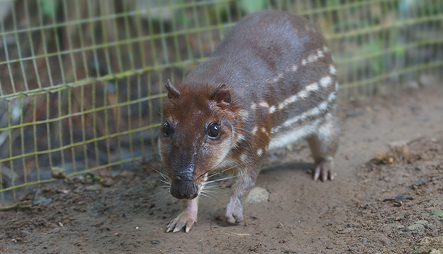 Photo of a Guanta at a zoo - a large Amazonian rodent