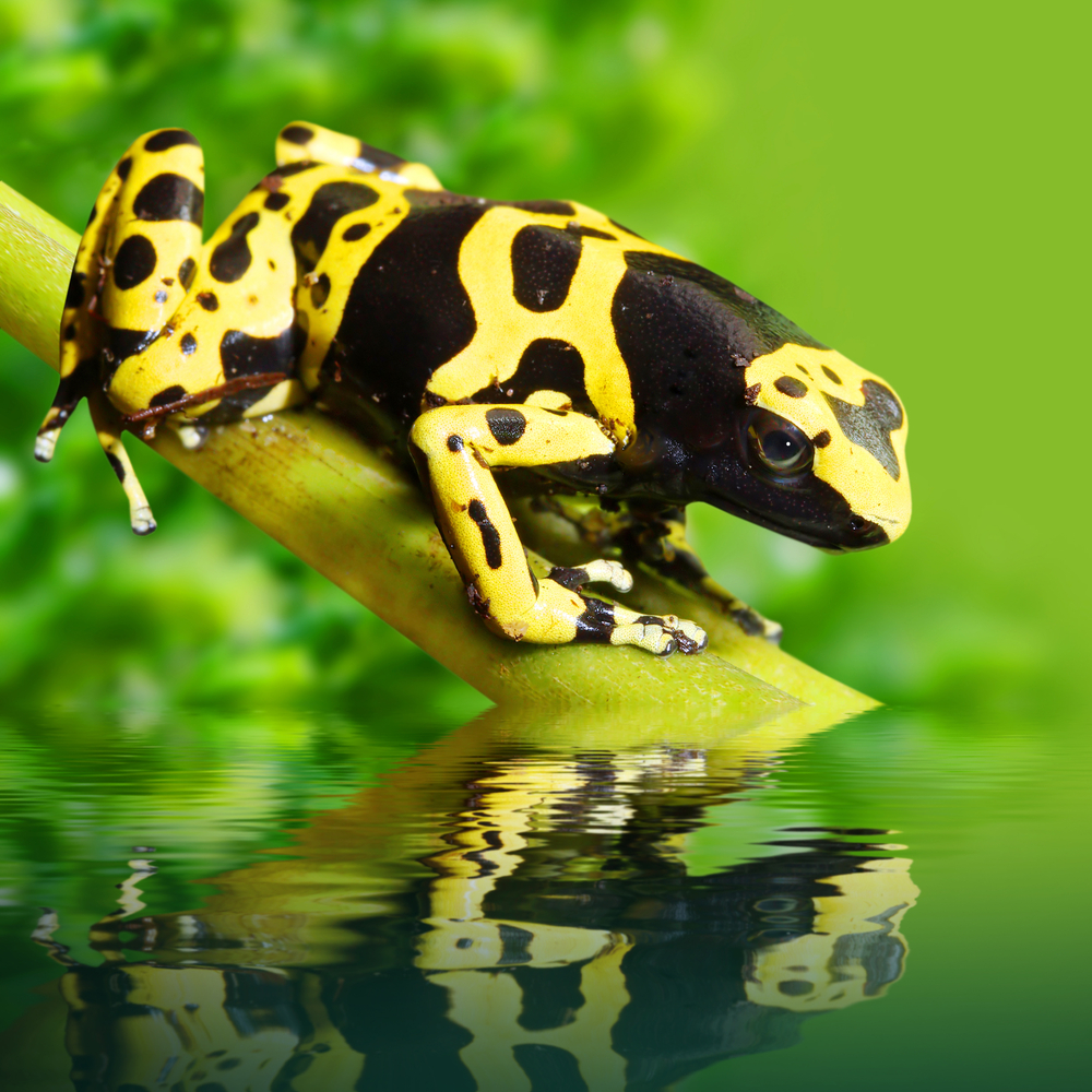 The poison Dart Frog, part of the biodiversity in Peru