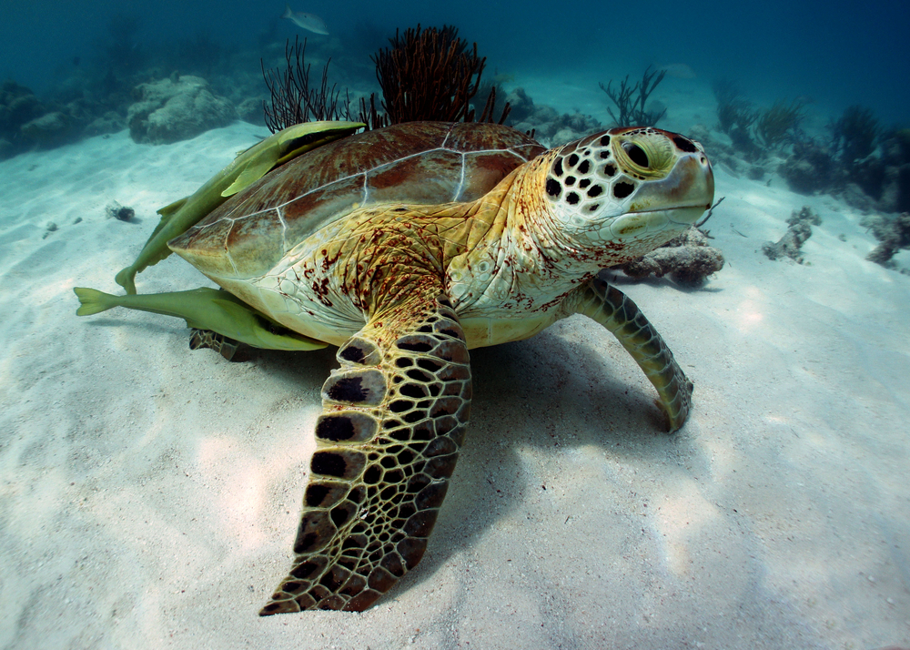The Green Sea Turtle in Akumal, Riviera Maya, Mexico