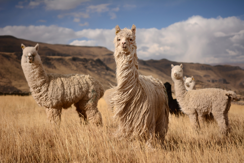 Alpaca's in the Andes Mountains