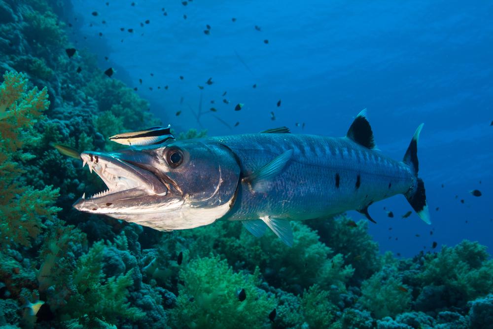The Barracuda