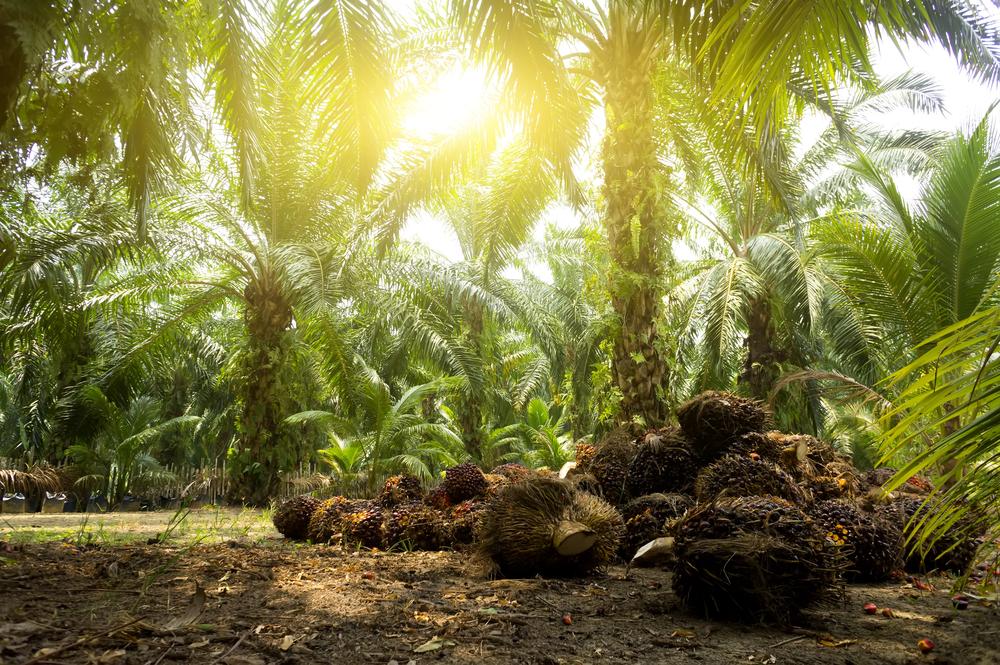 Palm oil plantation in Brazil.