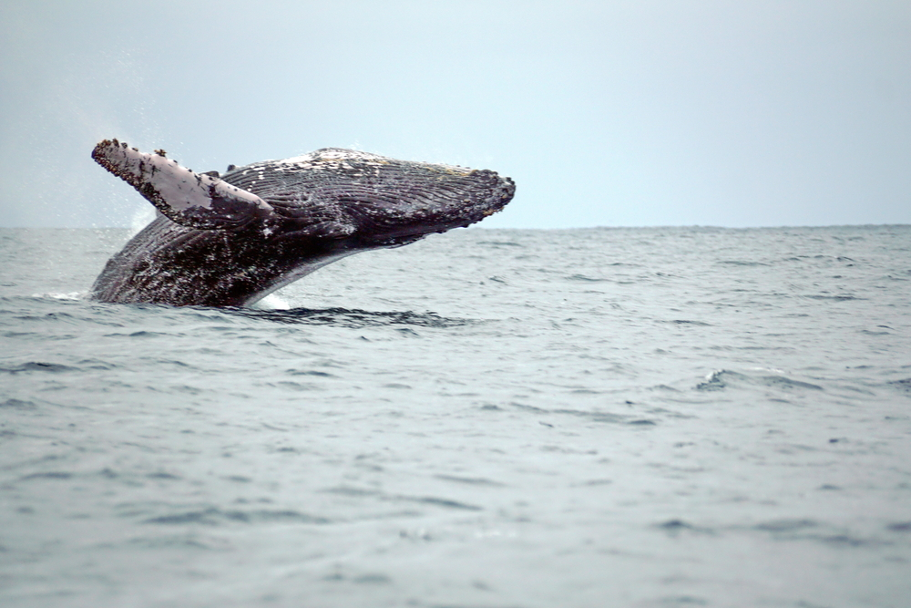 Humpback Whale swimming in the Pacific ocean at Puerto Lopez, Ecuador