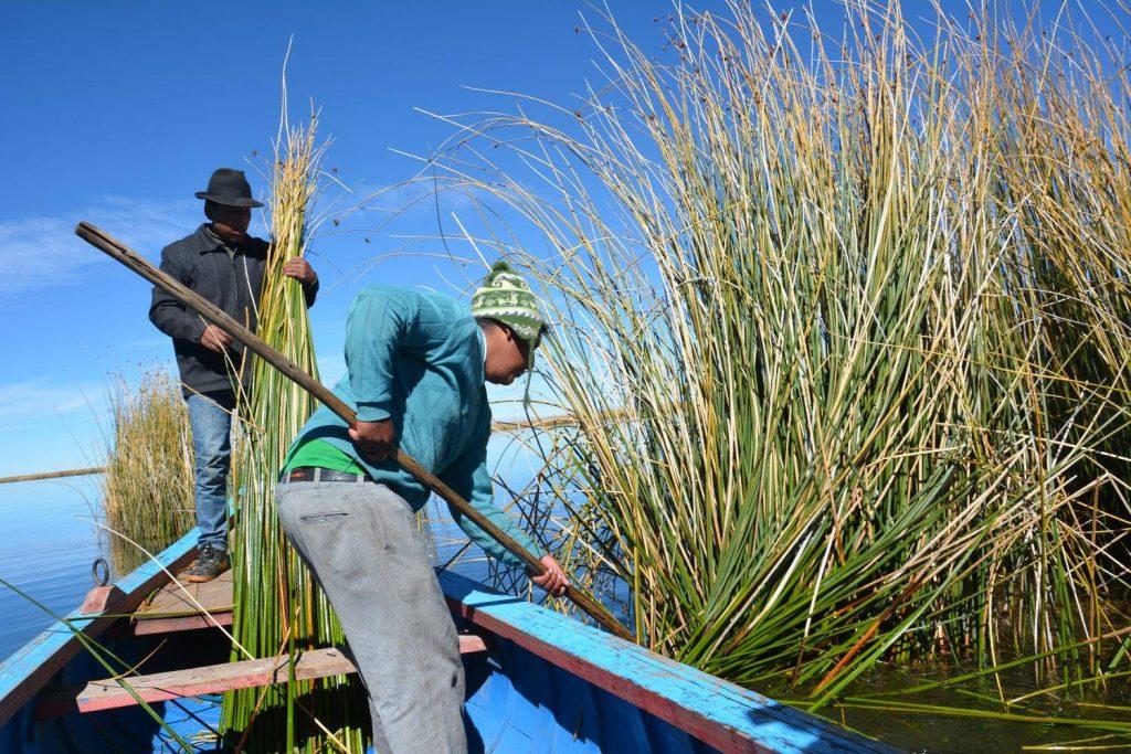 Reed Harvesting.
