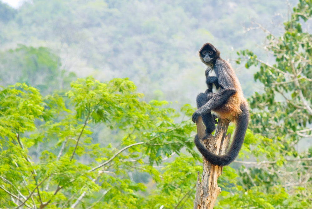 A Spider Monkey in the Mexican Jungle