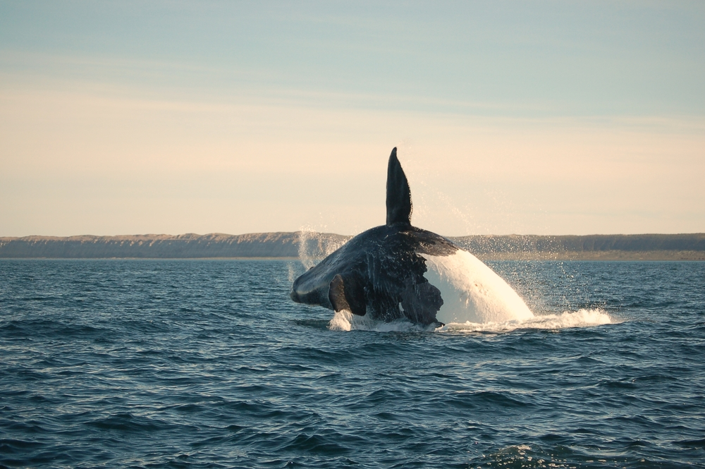 Southern Right Whale off the coast of Patagonia Argentina.