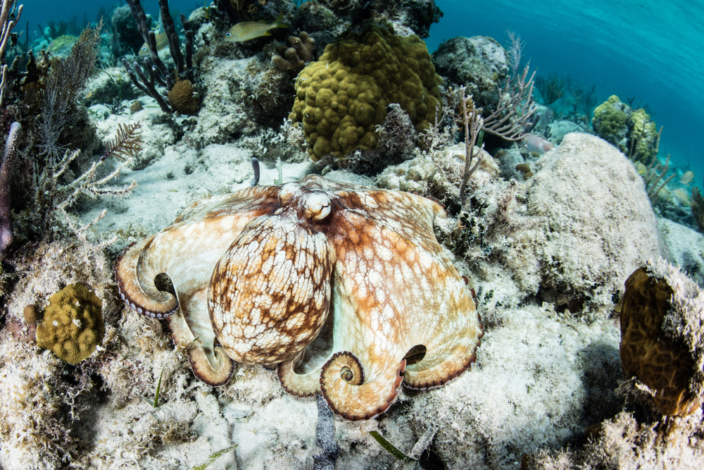 Expect to swim with the octopus in one of the snorkel spots in Belize.