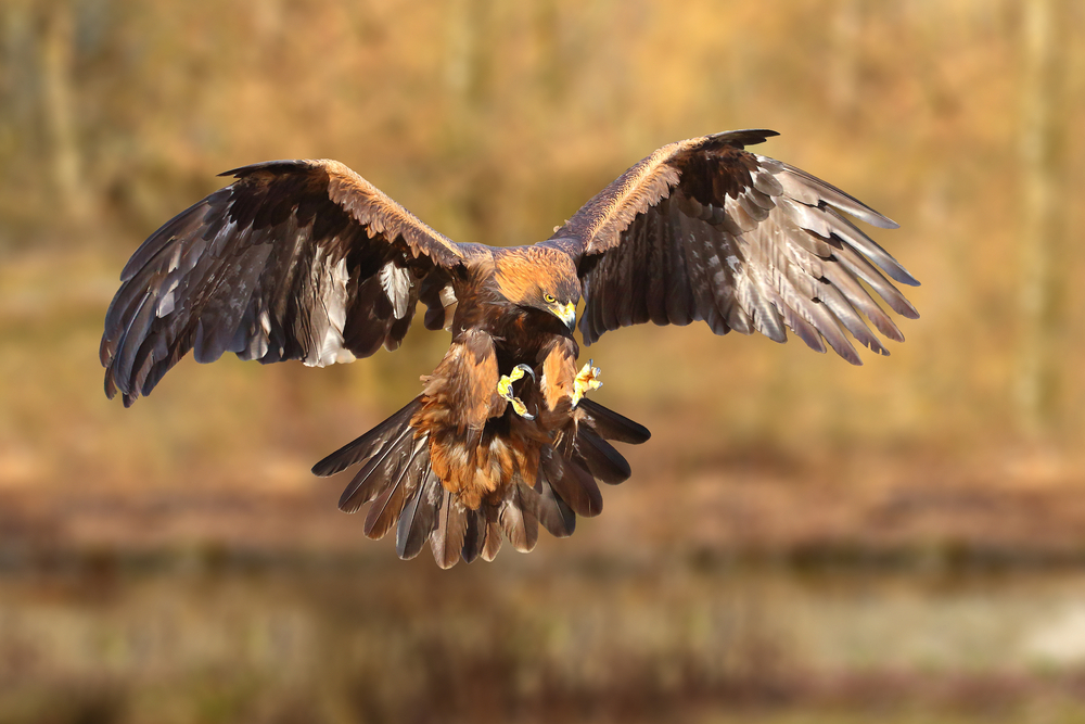 The National bird of Mexico: the Golden Eagle
