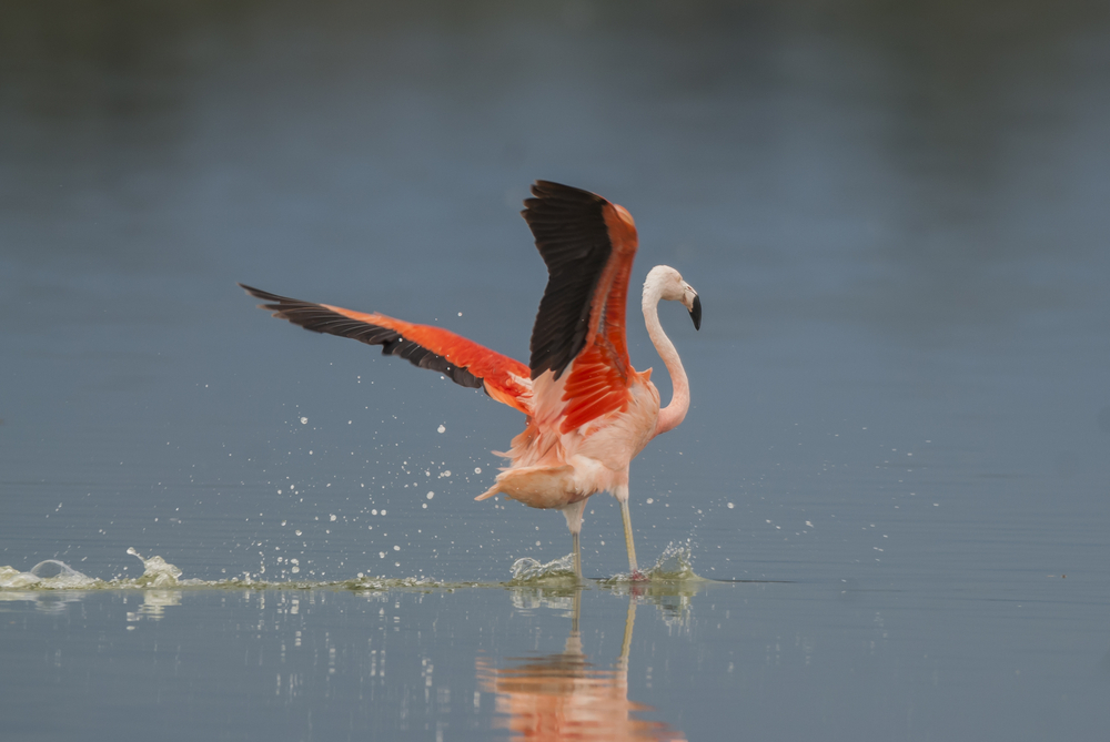 The Chilean Flamingo at the Pampa in Argentina.