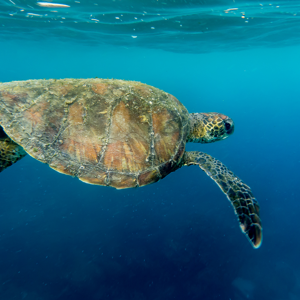 Whalers captured and killed thousands of giant Tortoise for both food and oil, which lead to the extinction of may Tortoise species on the islands.