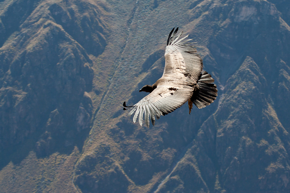 A flying condor over the Andes Mountains in Peru.