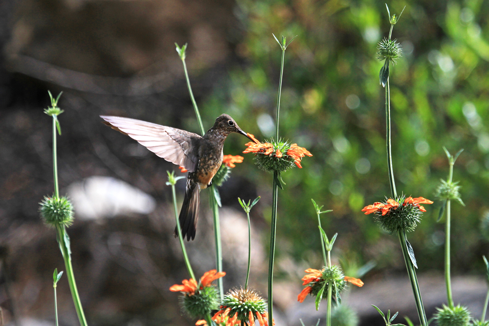 Nice hummingbird feeding on orange flower in the mountains of northern Peru