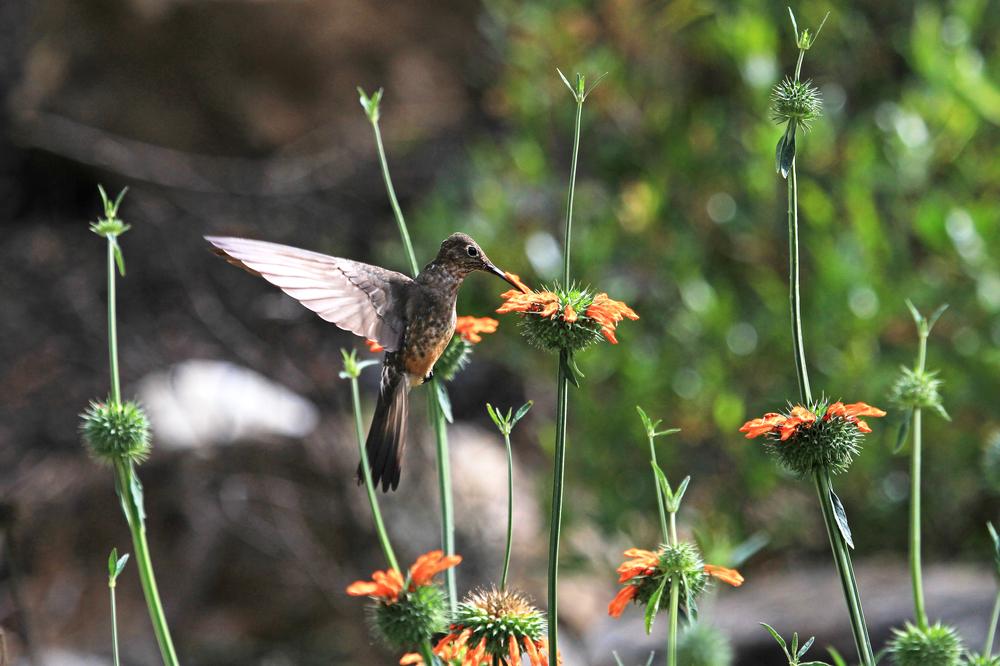 Nice hummingbird feeding on orange flower in the mountains of northern Peru
