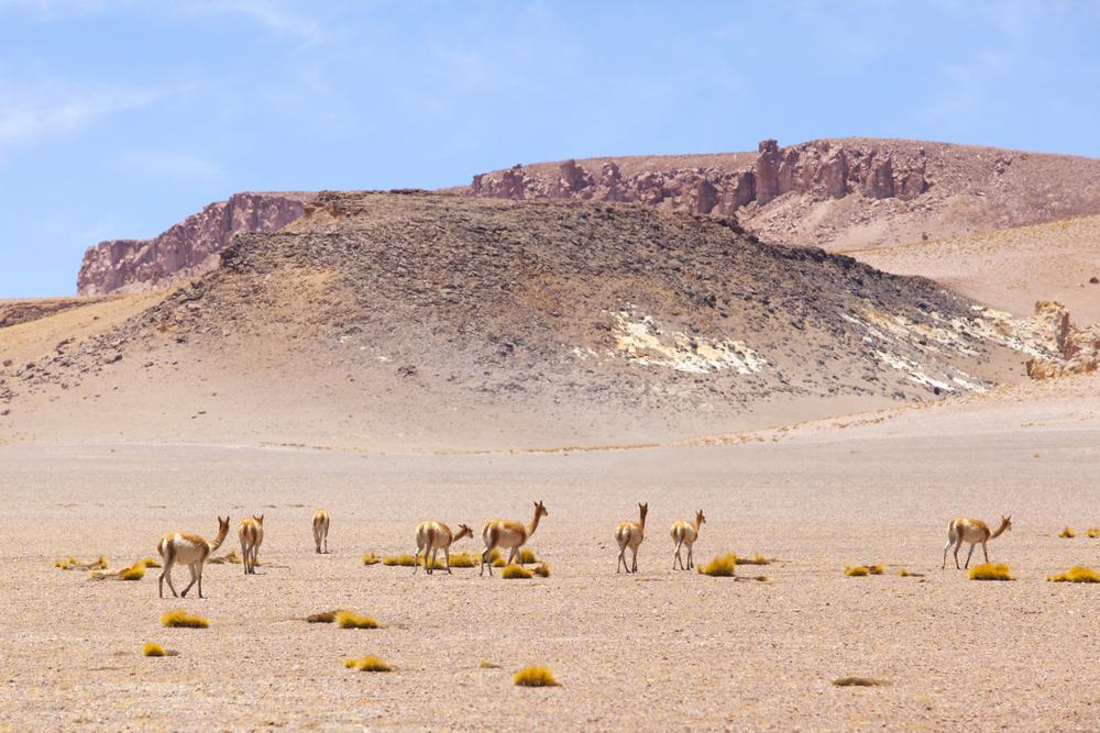 A group of wild Vicunas on the Andes Mountain, near San Pedro de Atacama.