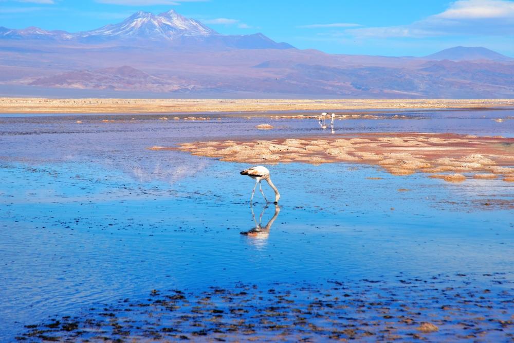 Close up of a flamingo in the Laguna Chaxa