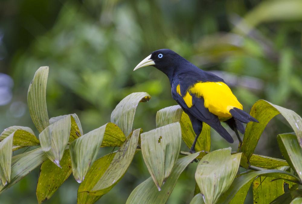 Yellow-rumped cacique at Pacaya Samiria National Reserve.