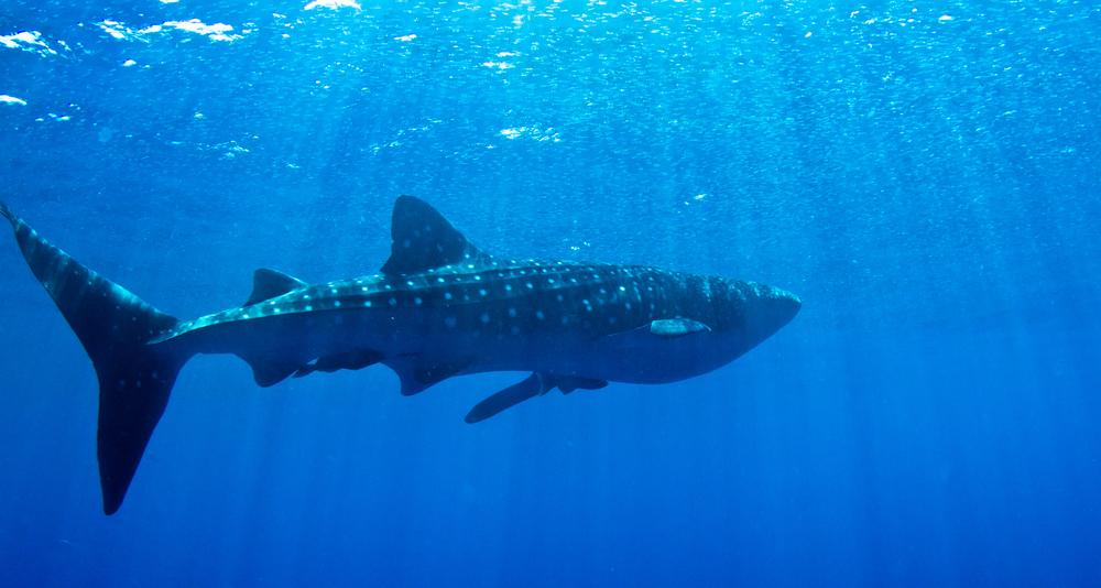 Whale Shark swimming near the surface in Honduras