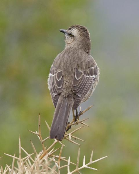 The Chilean mockingbird.