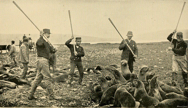 Slaughter of fur seals in Alaska in the 1890s.