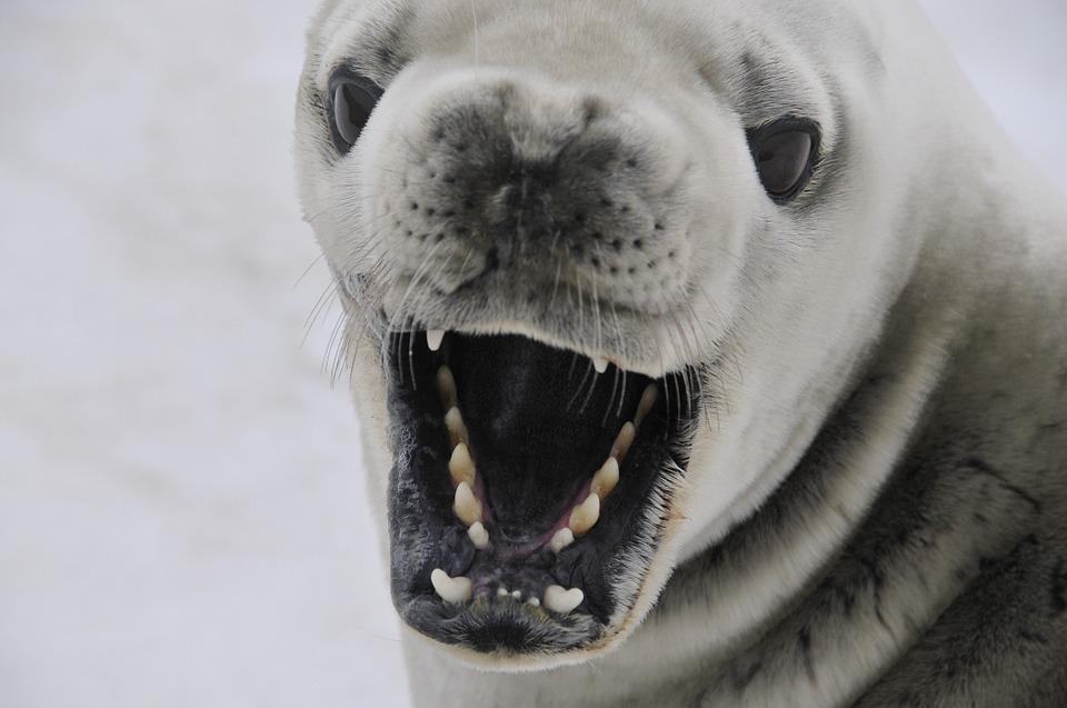 A crabeater seal in Antarctica