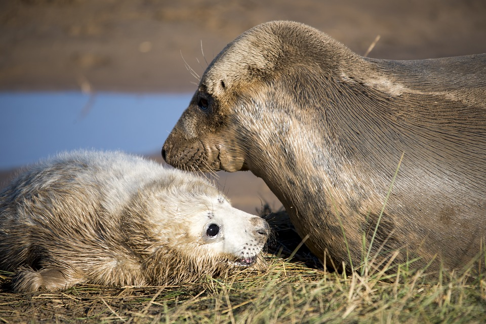 The seal pup with her mother