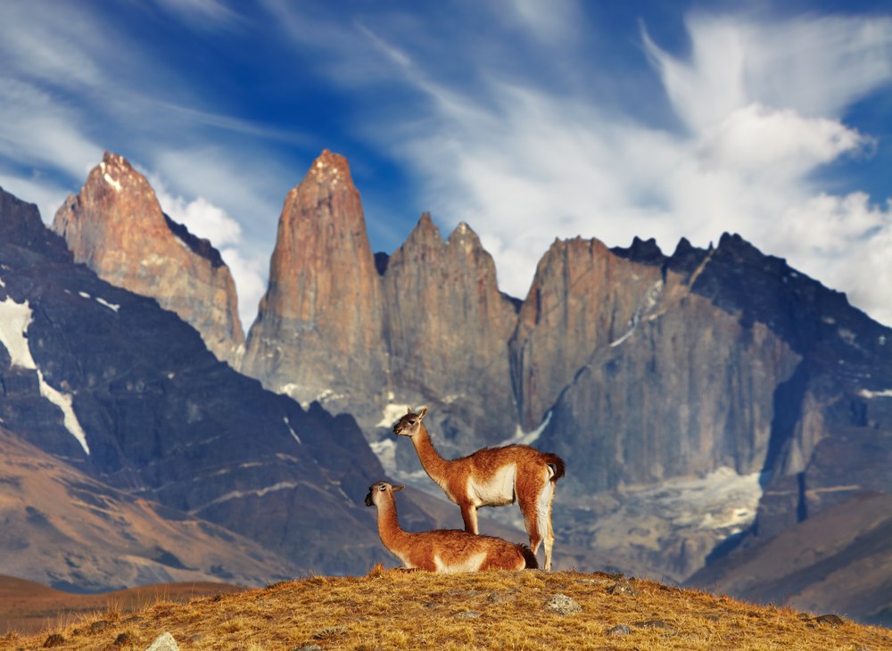Wildlife of Chile: Guanacos in Torres del Paine, Chile.