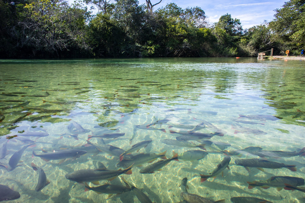 Clear River in Bonito, Brazil.