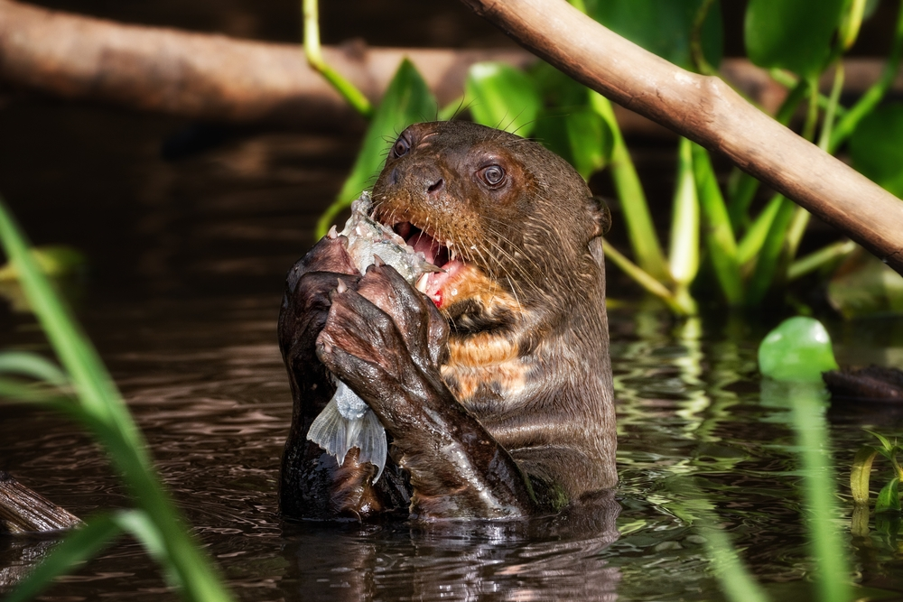 A Giant Otter Feeding in the Pantanal.