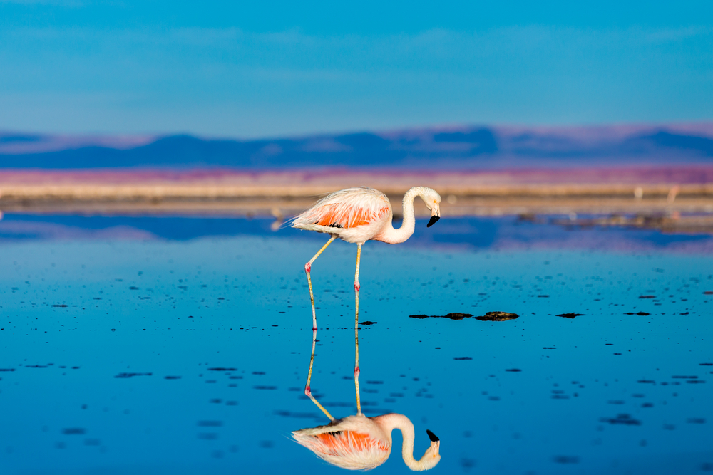 Flamingos in the Atacama, Chile
