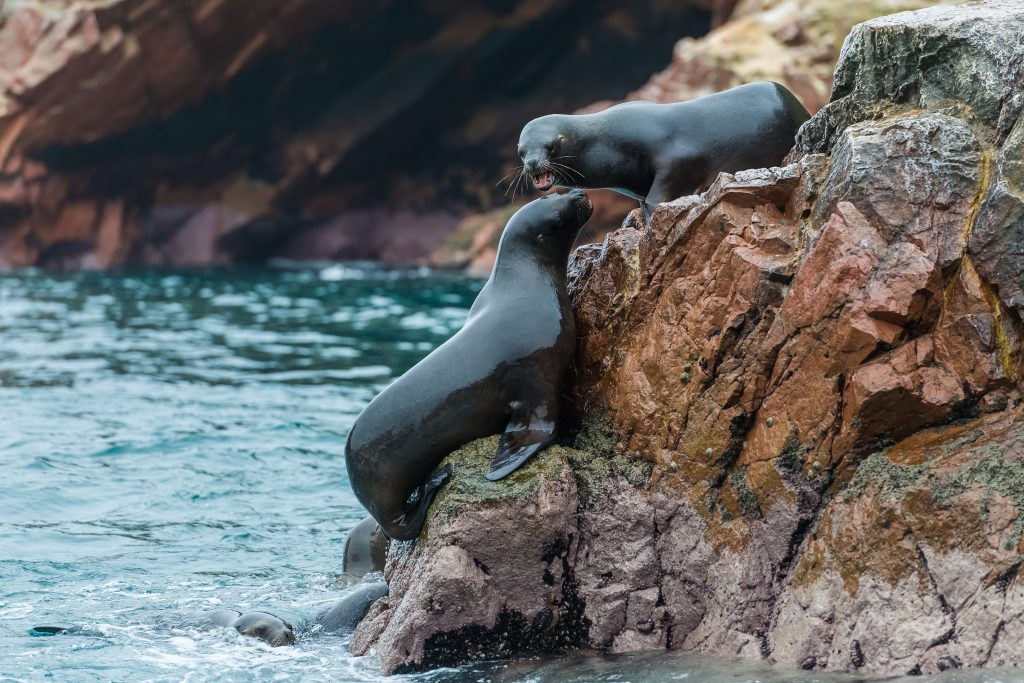 Sea lions in Ballestas Islands.