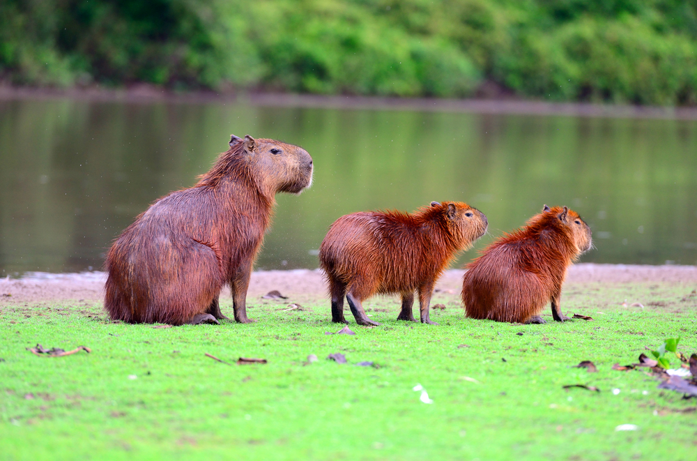 Capybaras, the largest rodent in the world, in Pantanal
