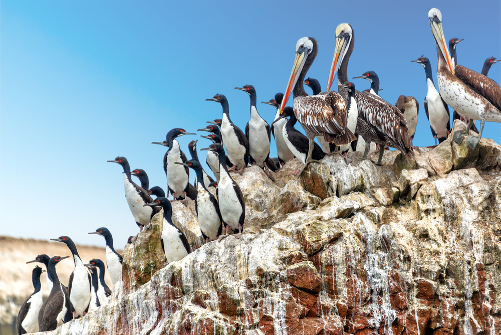 Pelicans in Ballestas Islands.