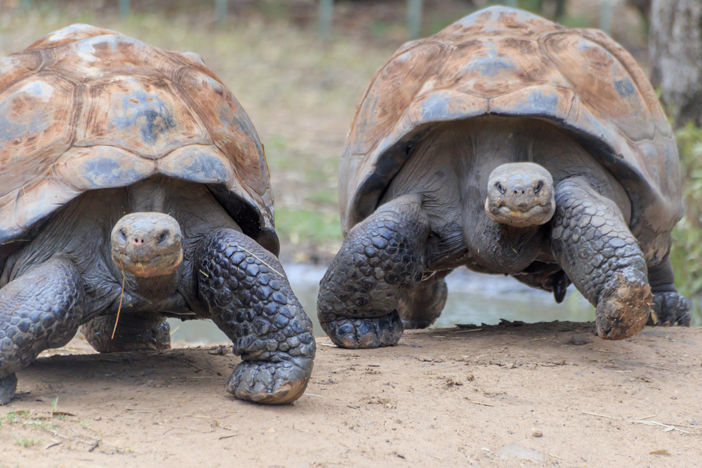 Giant Tortoises at the Galapagos Islands