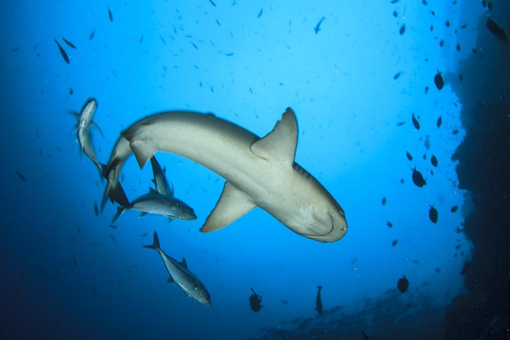 Reef sharks.