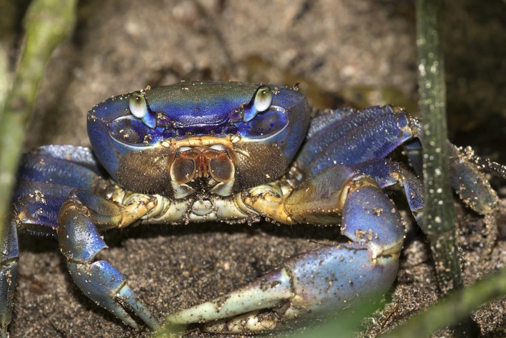 Crab in Cahuita National Park.