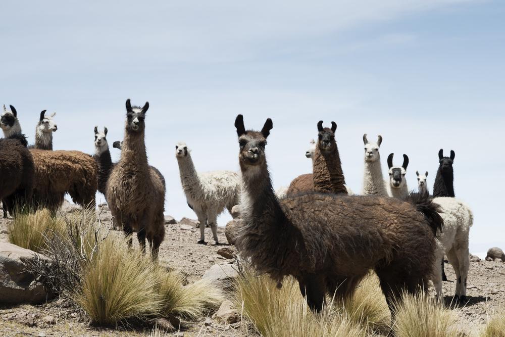 Llamas around the bolivian salt desert.