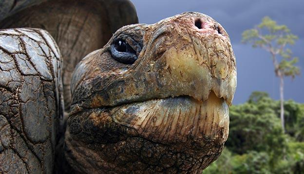 Galpagos Tortoise - close up