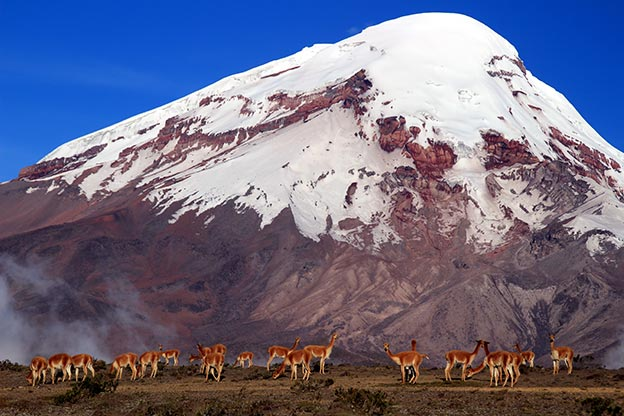 A herd of lamas on the huge Volcano Chimborazo