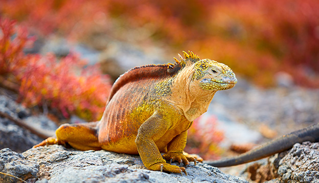 A yellow and red land Iguana sits on a rock amongst a backdrop of red plants.