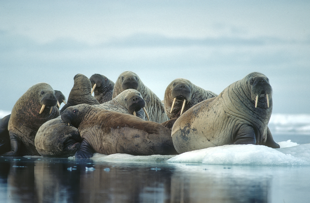 Group of walrus on ice floe in Canadian High Arctic.