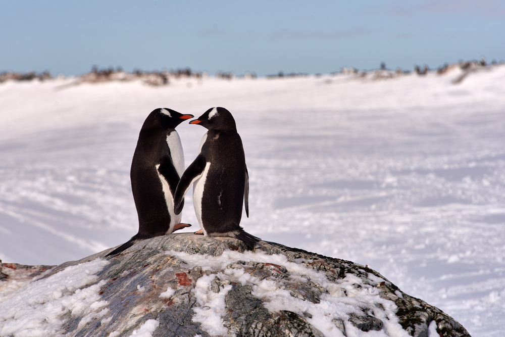Gantoo Penguins at Antarctica.