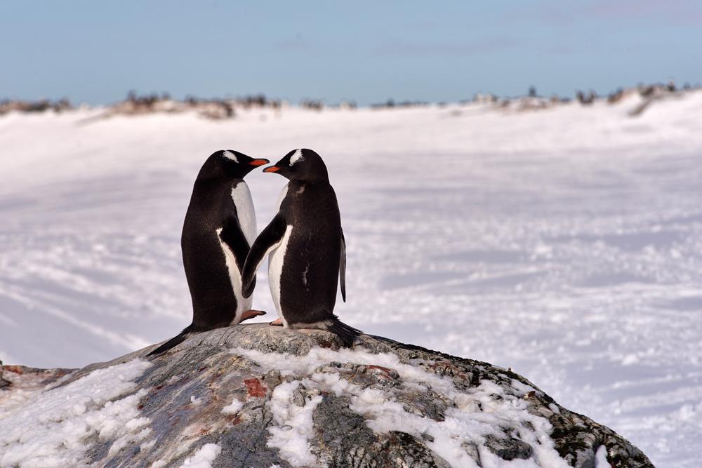Gantoo Penguins at Antarctica.