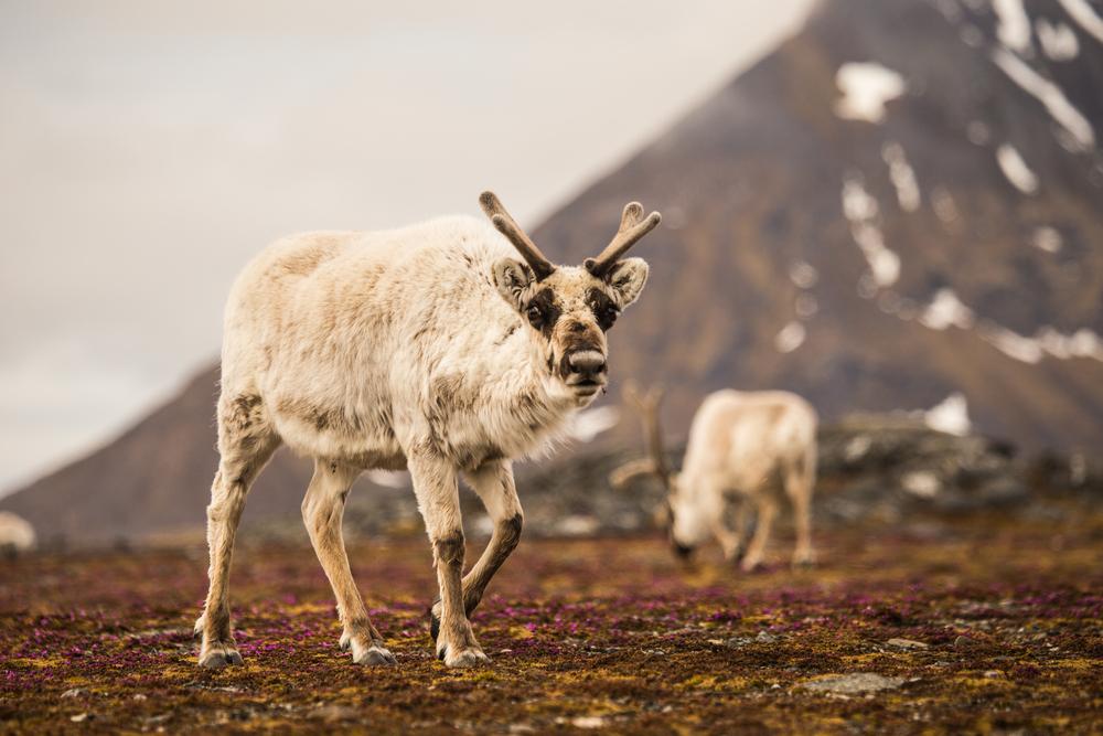 North Polar wildlife in Spitsbergen