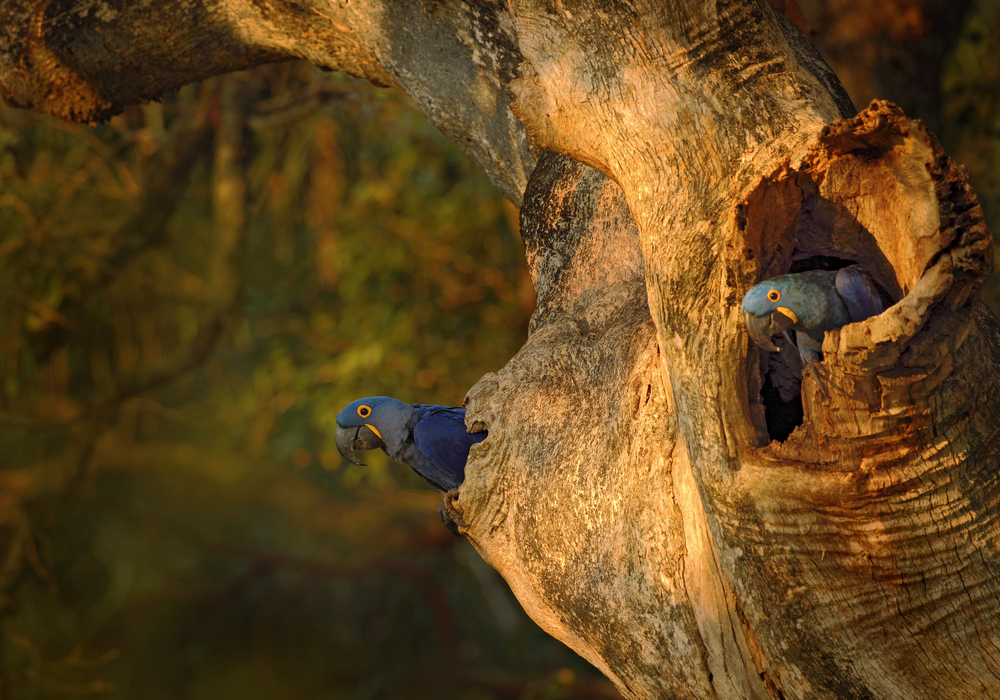 Blue parrot Hyacinth Macaw in nest tree in Brazil Pantanal