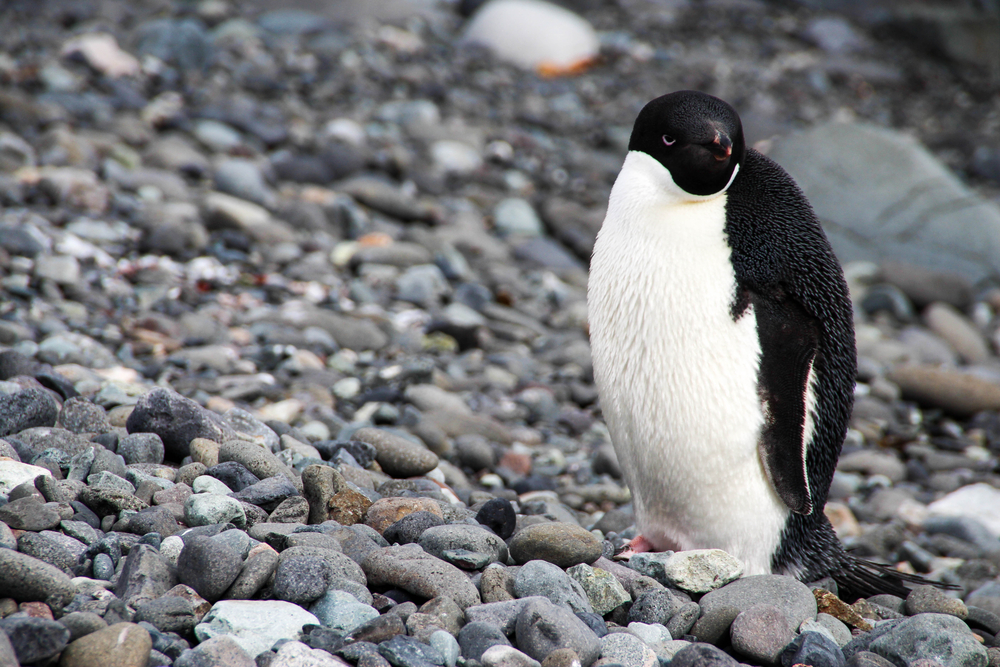 An Adelie penguin on King George Island, Antarctica