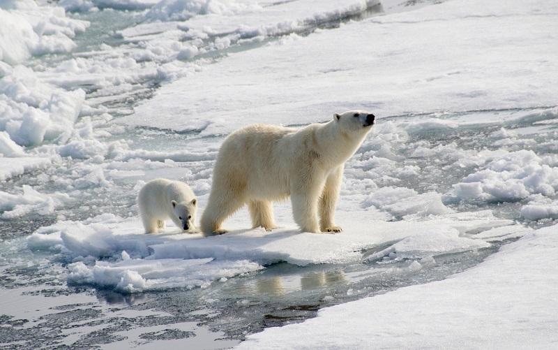 Arctic Expedition - polar bears