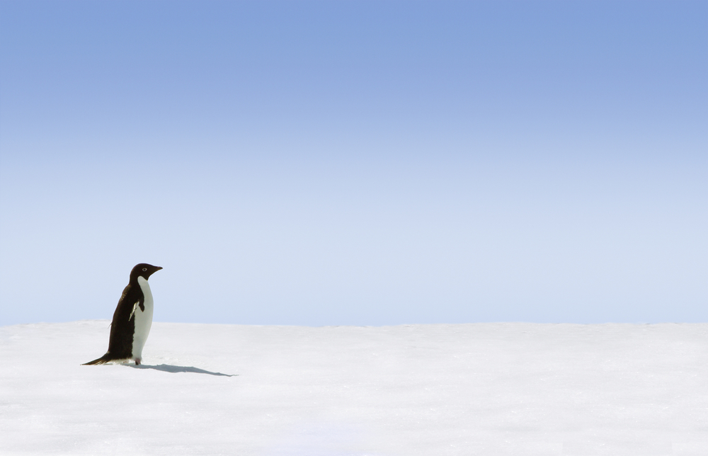 Adelie Penguin in Antarctica with white snow in the background