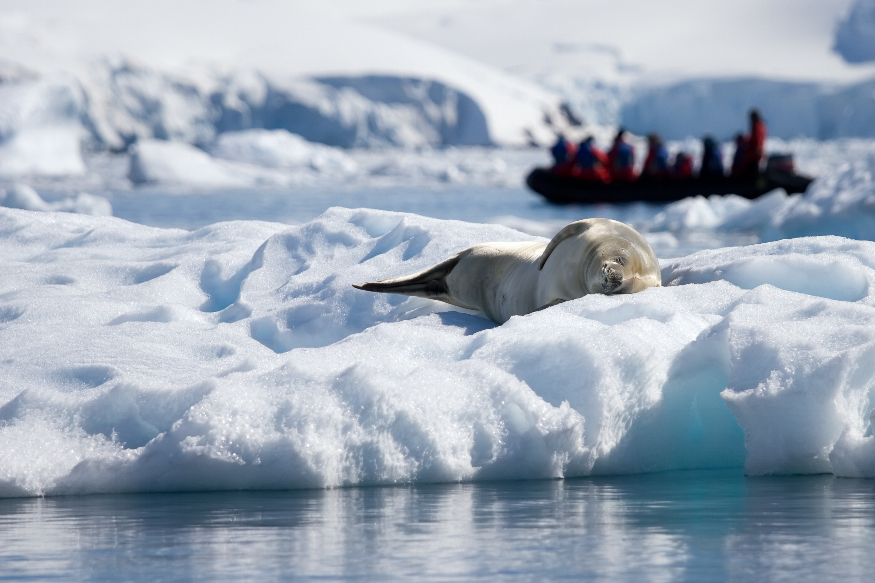 seal sleeping with a group of Antarctica travelers in the background