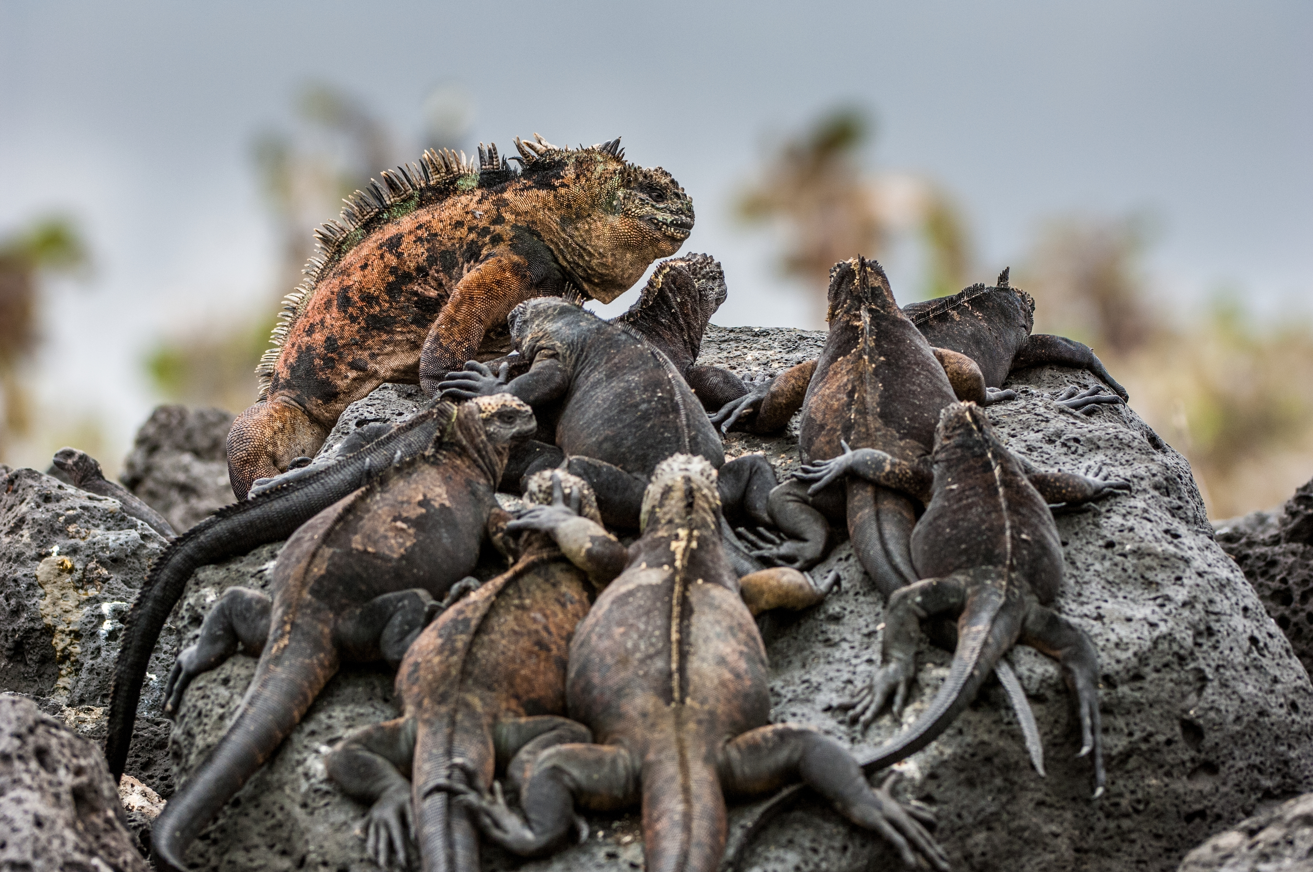 A male and females of Galapagos Marine Iguana resting on black stiffened lava rocks on the Galapagos Islands
